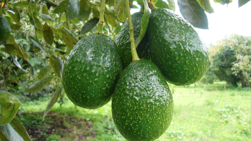 Avocados from Uruapan, Mexico and Water Sources